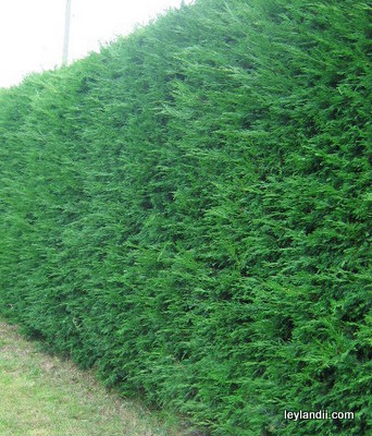 Leylandii hedge grown at Greenshutters Nurseries
